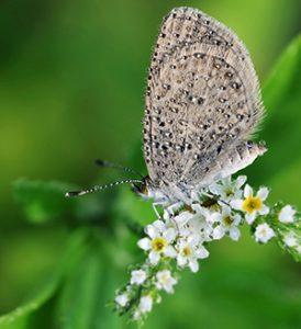 ButterflyDew